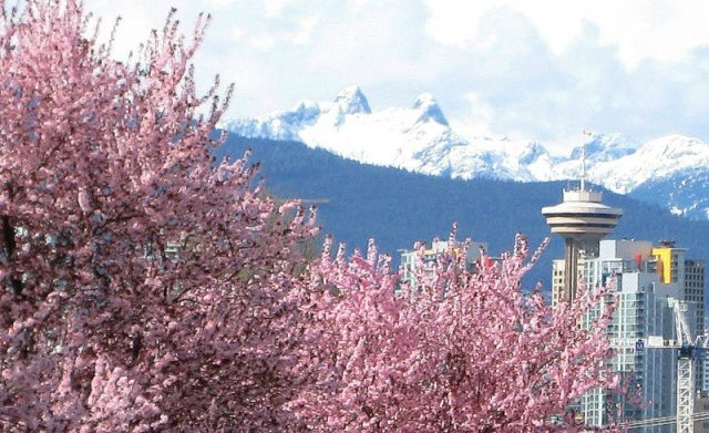 Image result for vancouver cherry blossoms
